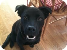 Labrador Retriever Mix Puppy for adoption in Salem, Massachusetts - Tootsie