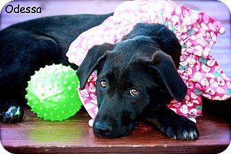 Labrador Retriever/German Shepherd Dog Mix Puppy for adoption in Albany, New York - Odessa