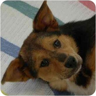 Shepherd (Unknown Type) Mix Dog for adoption in Westfield, New York - Chessie