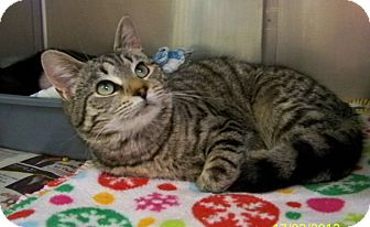 Domestic Shorthair Cat for adoption in Dover, Ohio - Brownie