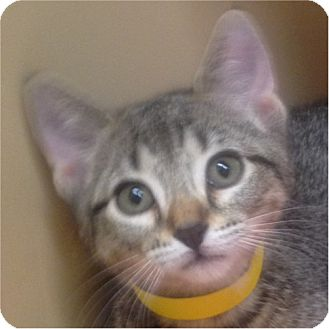 Domestic Shorthair Kitten for adoption in Weatherford, Texas - Parker