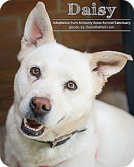 German Shepherd Dog/Shiba Inu Mix Dog for adoption in Salem, Ohio - Daisy V