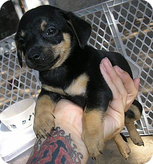Dachshund/Jack Russell Terrier Mix Puppy for adoption in Austin, Texas - Adriana