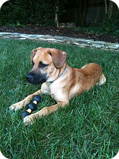 Anatolian Shepherd/Black Mouth Cur Mix Puppy for adoption in Bardonia, New York - Chip