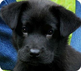 Labrador Retriever Mix Puppy for adoption in Wakefield, Rhode Island - MISS SARIN( ADORABLE PUPPY!!