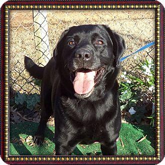 Labrador Retriever Dog for adoption in Marietta, Georgia - BATMAN (R)