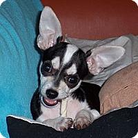 Adopt A Pet :: Zorro - Tucson, AZ