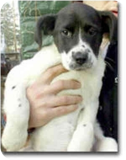 Border Collie Mix Dog for adoption in Stephentown, New York - Ness
