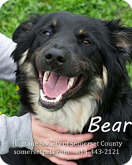 Shepherd (Unknown Type)/Collie Mix Dog for adoption in Somerset, Pennsylvania - Bear