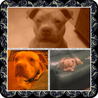American Pit Bull Terrier Dog for adoption in Coats, North Carolina - Mr. Bubbles