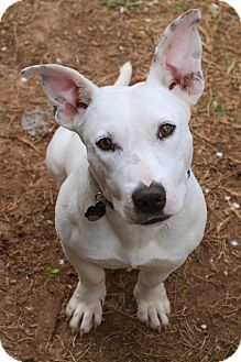 Bull Terrier/Beagle Mix Dog for adoption in Chattanooga, Tennessee - Otto