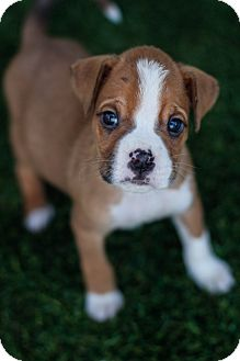 Boxer Puppy for adoption in Auburn, California - Magnum