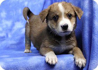 Blue Heeler Mix Puppy for adoption in Westminster, Colorado - Rupert