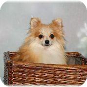 Pomeranian Dog for adoption in conroe, Texas - Montana