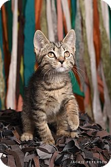 Domestic Shorthair Kitten for adoption in Hillside, Illinois - Sawyer
