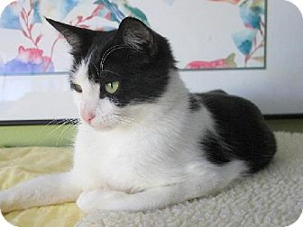 Domestic Shorthair Cat for adoption in HILLSBORO, Oregon - Lolita - Sweet and gentle