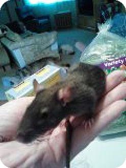 Rat for adoption in Vancouver, Washington - Christine