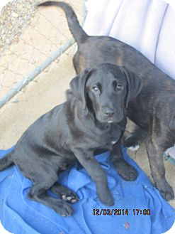 Labrador Retriever/Boxer Mix Puppy for adoption in Brookside, New Jersey - Theodore