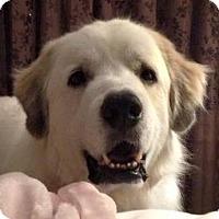 Adopt A Pet :: Gus - Minneapolis, MN