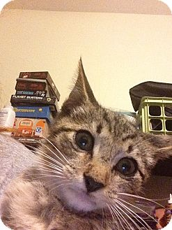 Domestic Shorthair Kitten for adoption in Tampa, Florida - Otto