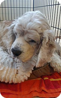 Cocker Spaniel Mix Dog for adoption in Freeport, New York - Stan