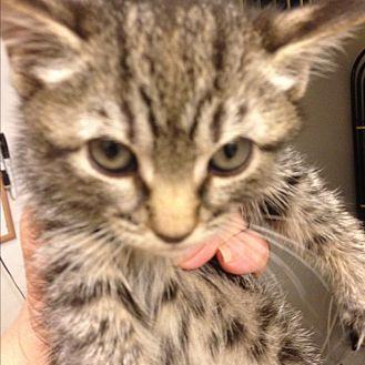 Bengal Kitten for adoption in Sunny Isles Beach, Florida - Bingo