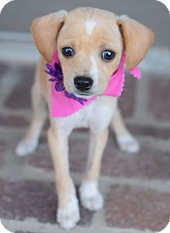 Chihuahua/Terrier (Unknown Type, Small) Mix Puppy for adoption in Denver, Colorado - Sugar Britches