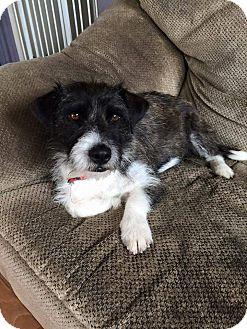 Terrier (Unknown Type, Medium) Mix Dog for adoption in Concord, California - Scarlett