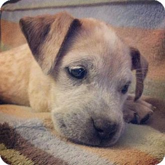 Australian Cattle Dog/Boxer Mix Puppy for adoption in Rathdrum, Idaho - Oliver