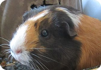 Guinea Pig for adoption in Lloydminster, Alberta - Herman