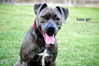 American Pit Bull Terrier Mix Dog for adoption in Denton, Texas - Sassy