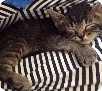 Domestic Shorthair Kitten for adoption in Ludowici, Georgia - Ajax