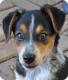 Australian Cattle Dog Mix Puppy for adoption in Hagerstown, Maryland - Boone