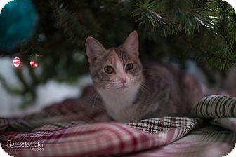 Calico Kitten for adoption in Columbus, Ohio - Baby Charlotte