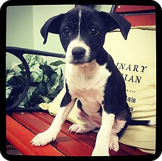 American Bulldog Mix Puppy for adoption in Grand Bay, Alabama - Shelby
