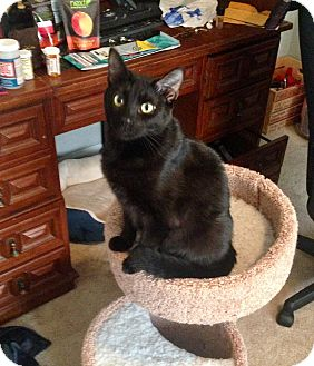 Domestic Shorthair Cat for adoption in Athens, Georgia - Darcy