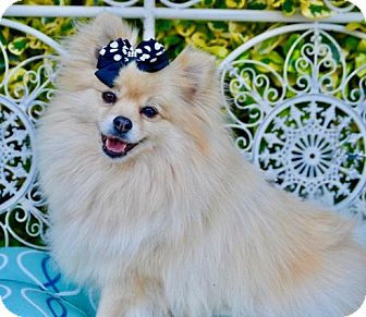 Pomeranian Dog for adoption in Irvine, California - Puff