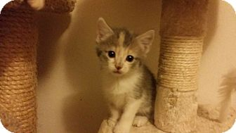 Domestic Shorthair Kitten for adoption in Irwin, Pennsylvania - Tawney
