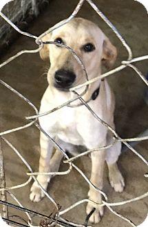 Labrador Retriever Mix Dog for adoption in Hammond, Louisiana - Primrose