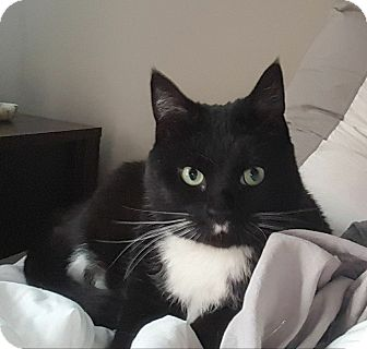 Domestic Shorthair Cat for adoption in Vineland, New Jersey - Baby (black and white)