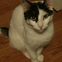Adopt A Pet :: Moo - Chandler, AZ