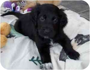 Golden Retriever/English Setter Mix Puppy for adoption in Rochester Hills, Michigan - Echo (pending)