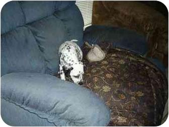 Dalmatian Puppy for adoption in League City, Texas - Macey