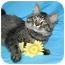 Photo 1 - Domestic Mediumhair Cat for adoption in Ladysmith, Wisconsin - Hudson