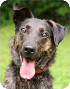 Shepherd (Unknown Type) Mix Dog for adoption in Chicago, Illinois - Max Loopy