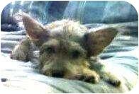 Terrier (Unknown Type, Small) Mix Puppy for adoption in Schertz, Texas - Jules