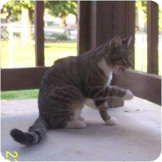 Domestic Shorthair Cat for adoption in McArthur, Ohio - ADVENTURE