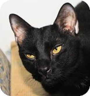 Domestic Shorthair Cat for adoption in St. James City, Florida - Siggy