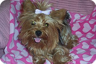Yorkie, Yorkshire Terrier Dog for adoption in Marshall, Texas - Robin