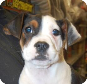 Boxer Mix Puppy for adoption in Brooklyn, New York - Mario